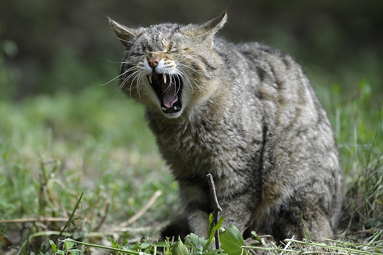 An outdoor cat yowls fiercely with eyes shut.